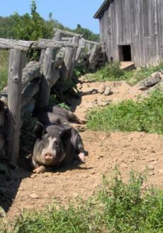 Pigs Kings Landing