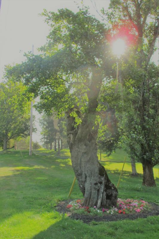 Bishop pear tree